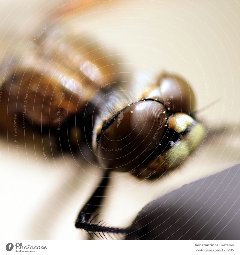 Insektokopter Natur ruhig Tier Leben Kopf Beine Umwelt nah weich Insekt Fühler Libelle faszinierend interessant Facettenauge