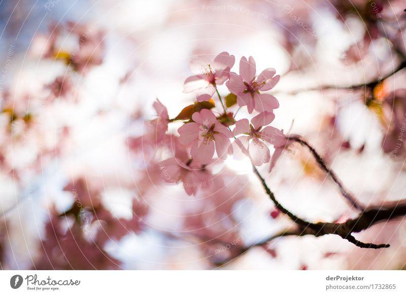 Kirschblüte 1 Natur Ferien & Urlaub & Reisen Pflanze Baum Landschaft Tier Freude Wald Umwelt Blüte Frühling Glück Garten Tourismus rosa Park
