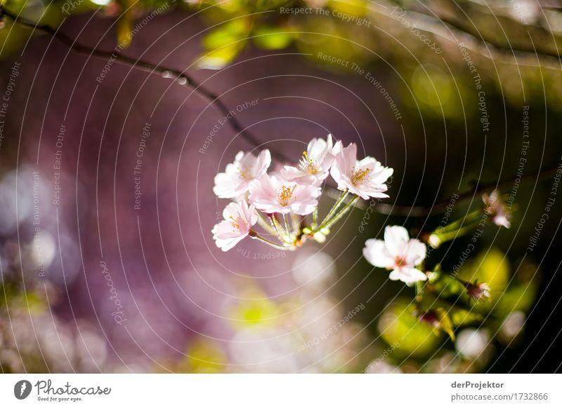 Kirschblüte 2 Natur Ferien & Urlaub & Reisen Pflanze Baum Landschaft Freude Ferne Umwelt Blüte Frühling Glück Garten Freiheit Tourismus Park Zufriedenheit