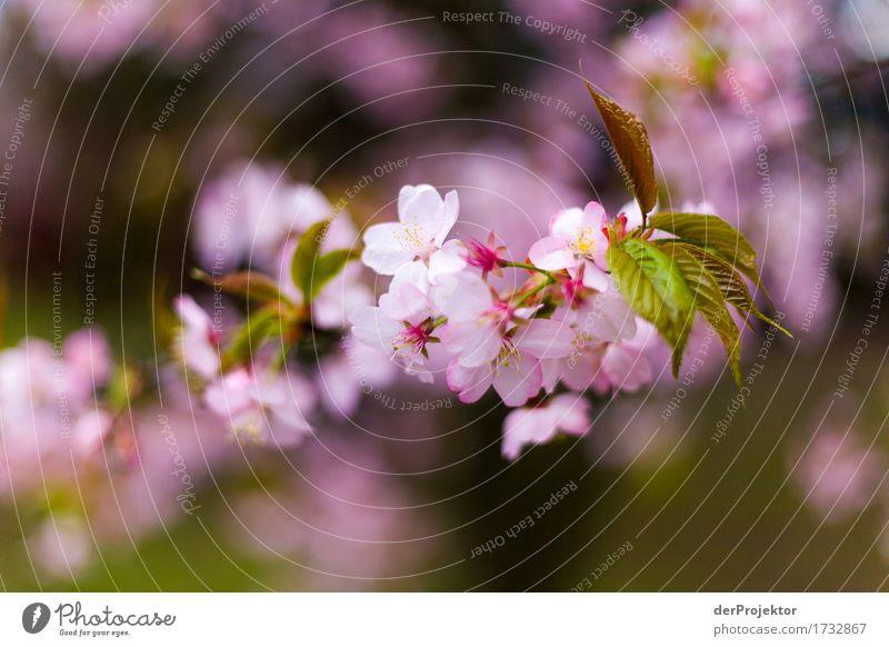 Kirschblüte 3 Ferien & Urlaub & Reisen Tourismus Ausflug Abenteuer Freiheit Sightseeing Städtereise wandern Umwelt Natur Landschaft Pflanze Frühling Baum Blüte