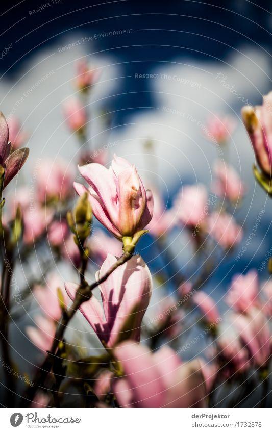 Magnolienblüte 3 Himmel Natur Ferien & Urlaub & Reisen Pflanze blau Baum Landschaft Freude Ferne Umwelt Blüte Frühling Glück Garten Freiheit Tourismus