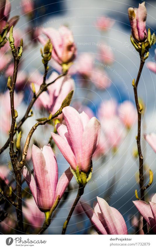 Magnolienblüte 2 Natur Ferien & Urlaub & Reisen Pflanze Baum Landschaft Tier Freude Ferne Umwelt Blüte Frühling Wiese Glück Garten Freiheit Tourismus