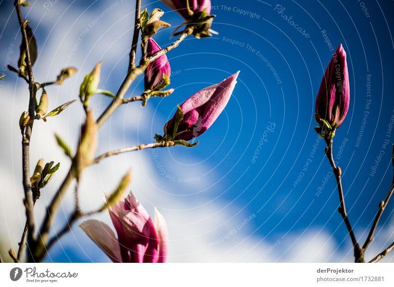 Magnolienblüte 1 Himmel Natur Ferien & Urlaub & Reisen Pflanze blau Baum Landschaft Freude Umwelt Blüte Frühling Glück Garten Freiheit Tourismus rosa