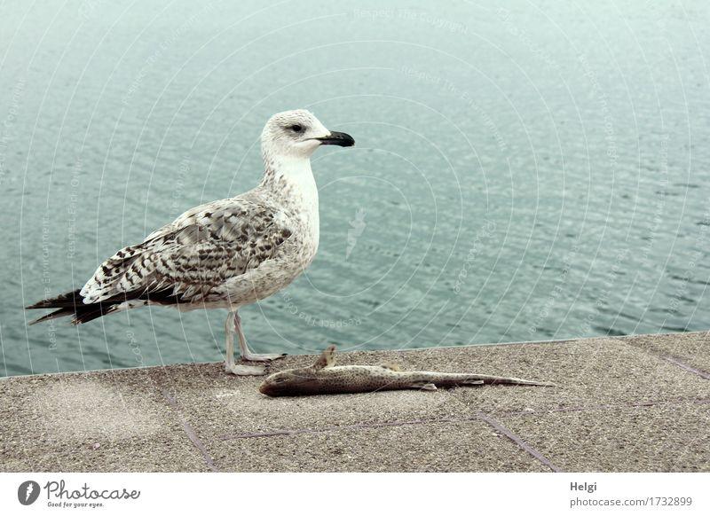 meins! Umwelt Natur Tier Wasser Frühling Küste Meer Mittelmeer Insel Mallorca Wildtier Totes Tier Vogel Fisch Möwe 2 Stein liegen Blick stehen authentisch