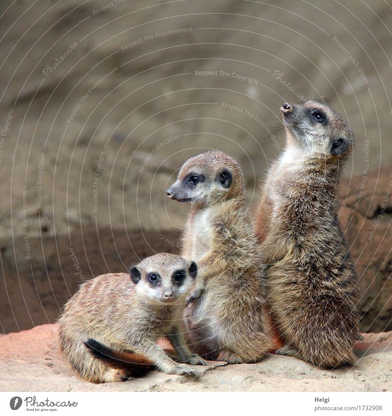 putziges Trio Tier Erde Zoo Erdmännchen 3 Tiergruppe Tierjunges beobachten Blick sitzen stehen ästhetisch Zusammensein klein Neugier niedlich braun grau