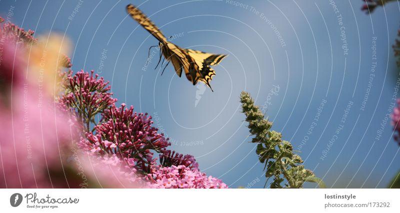ich bin dann mal weg ... Natur Pflanze Sommer Tier fliegen Flügel zart Schmetterling sanft Leichtigkeit flattern Schwalbenschwanz