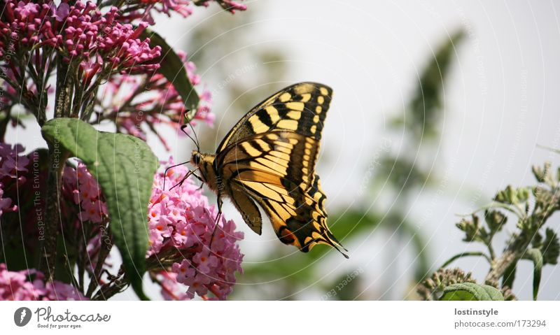 schmeckt's? Farbfoto Außenaufnahme Tag Natur Pflanze Tier Sonne Sommer Schönes Wetter Schmetterling fliegen gelb rosa Flieder sanft haarig Fühler Rüssel