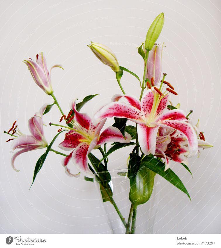 Liliengeburtstagsstrauß grün Pflanze Sommer Erholung Frühling Blume rosa Glas elegant Geburtstag Design Asien Duft Blumenstrauß Blüte Blütenknospen