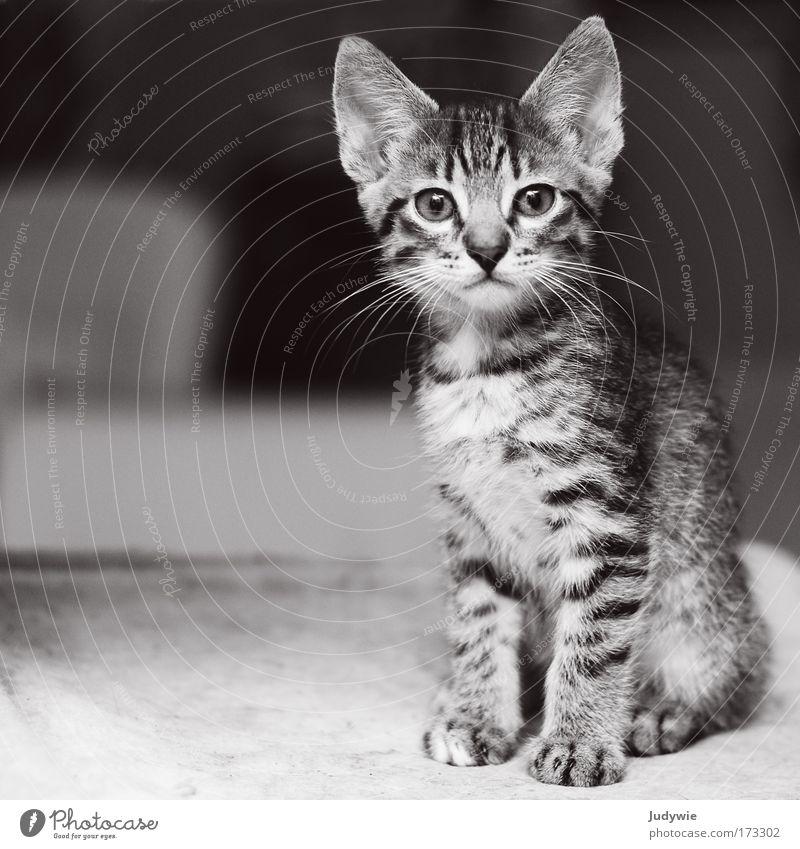 Kleiner Kater Schwarzweißfoto Innenaufnahme Menschenleer Textfreiraum links Hintergrund neutral Schwache Tiefenschärfe Tierporträt Blick in die Kamera Kindheit