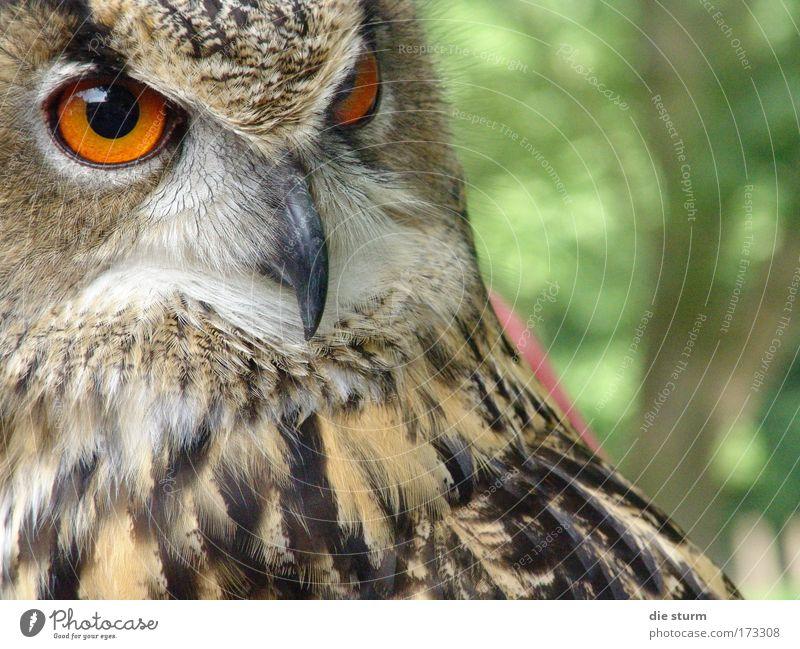 Uhu, ein Nachtvogel Farbfoto Außenaufnahme Nahaufnahme Textfreiraum rechts Tag Schatten Totale Tierporträt Blick nach vorn Wildtier Vogel Tiergesicht Zoo 1