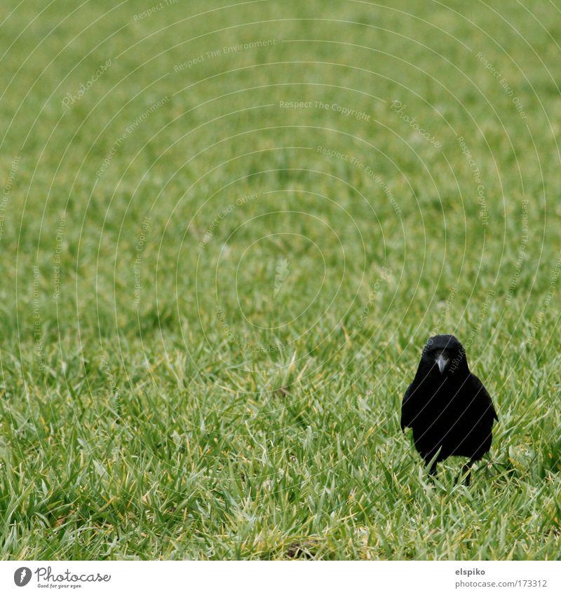 Hey Alter! Ich bin kein Hühnchen! Farbfoto Außenaufnahme Menschenleer Tag Blick Blick in die Kamera Natur Landschaft Tier Vogel Krähe Feder 1 stehen Schnabel