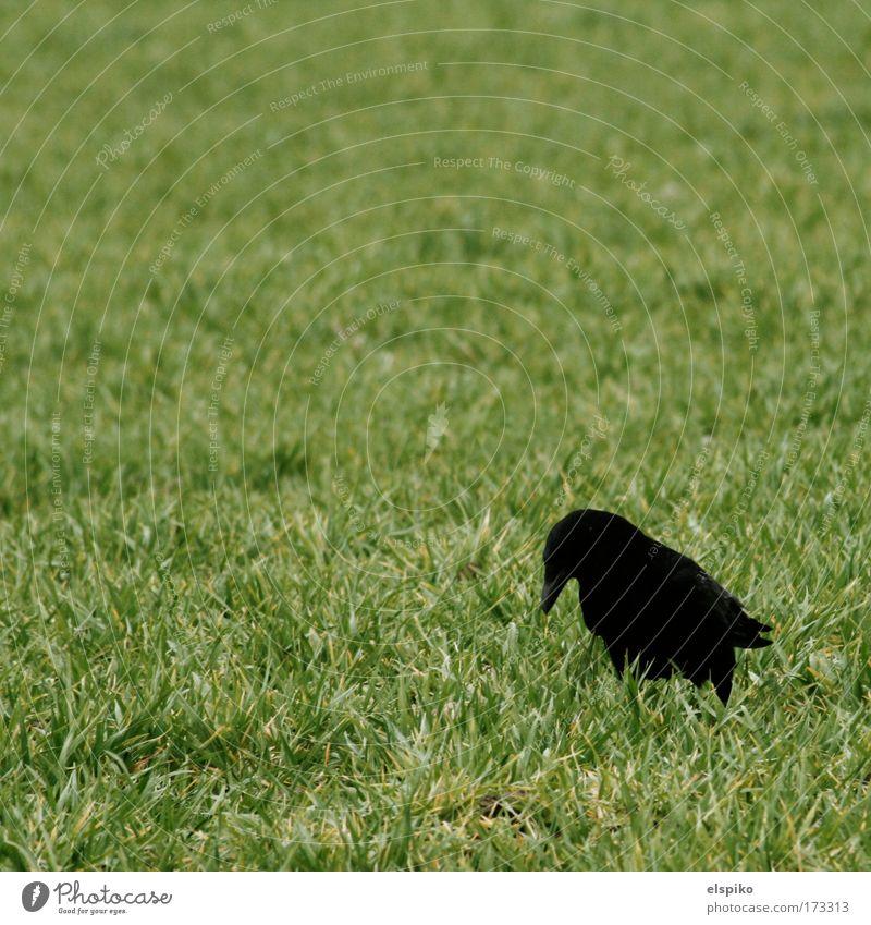 Da war doch grad 'n Wurm Farbfoto Außenaufnahme Menschenleer Tag Natur Landschaft Gras Vogel Krähe Feder Schnabel stehen