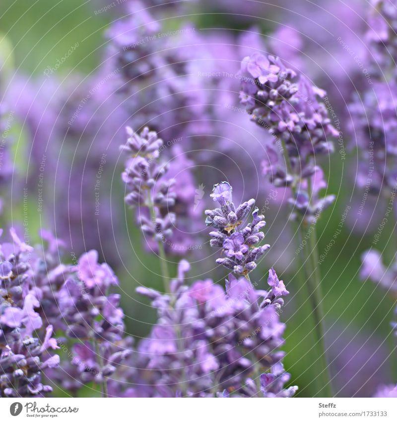Lavandula Umwelt Natur Pflanze Sommer Blume Lavendel Gartenpflanzen Blühend schön grün violett Farbe Juli Heilpflanzen Unschärfe Farbfoto Außenaufnahme