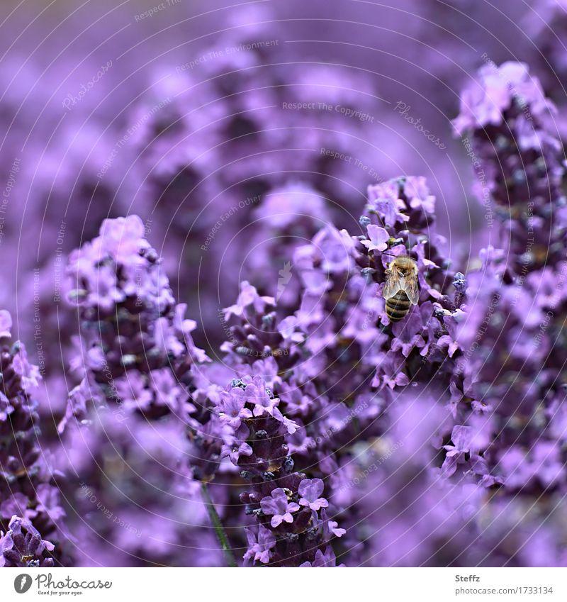 violett satt Umwelt Natur Pflanze Sommer Blume Blüte Gartenpflanzen Lavendel Heilpflanzen Biene Insekt Blühend Duft verrückt schön Sommergefühl Farbe Idylle