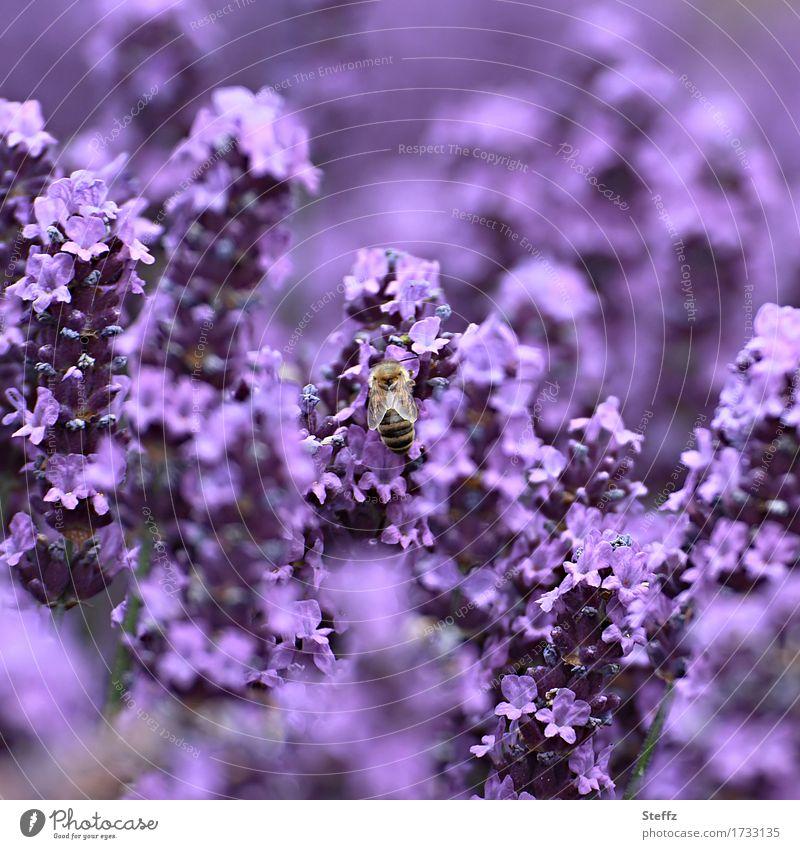lebhaft violett Umwelt Natur Pflanze Sommer Blüte Nutzpflanze Lavendel Heilpflanzen Garten Park Biene Insekt Blühend verrückt Farbe Unschärfe knallig intensiv