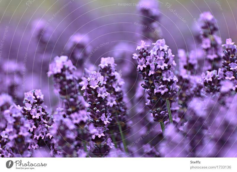 violet summer Umwelt Natur Pflanze Sommer Blume Blüte Lavendel Gartenpflanzen Heilpflanzen Blühend Duft verrückt schön violett Sommergefühl Farbe Unschärfe