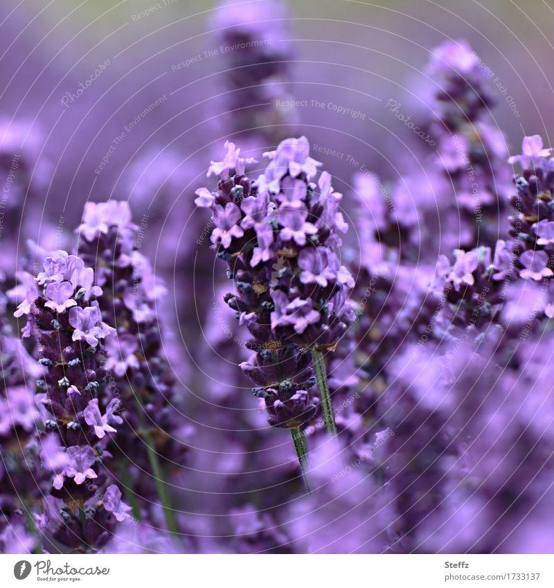 Lavandula preciosa Umwelt Natur Pflanze Sommer Blume Lavendel Heilpflanzen Gartenpflanzen Gartenblume Park Blühend schön violett Farbe sommerlich Unschärfe