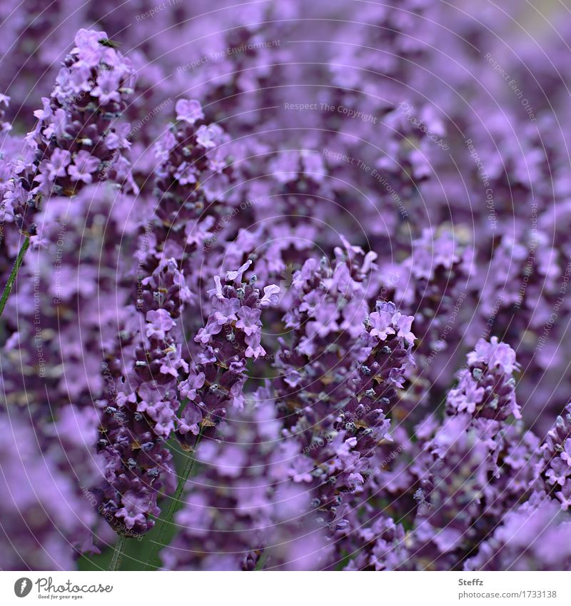 ganz in violett Natur Pflanze Sommer Farbe schön Blume Umwelt Blüte Garten Park Blühend Blütenblatt Lavendel Heilpflanzen Gartenpflanzen