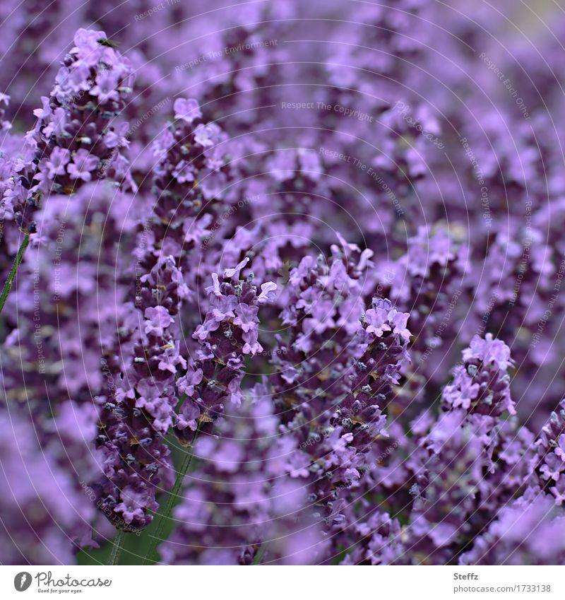 ganz in violett Umwelt Natur Pflanze Sommer Blume Blüte Lavendel Lavendelfeld Blütenblatt Gartenpflanzen Park Blühend schön Farbe Unschärfe Heilpflanzen