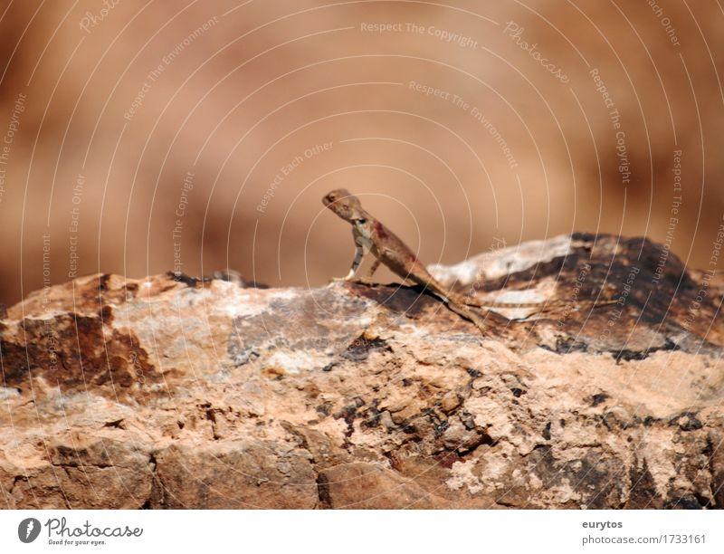 Echse Umwelt Natur Tier Sonne Sommer Wildtier 1 braun Umweltschutz Tarnung Echsen Farbfoto Außenaufnahme Nahaufnahme Textfreiraum oben Tag Tierporträt