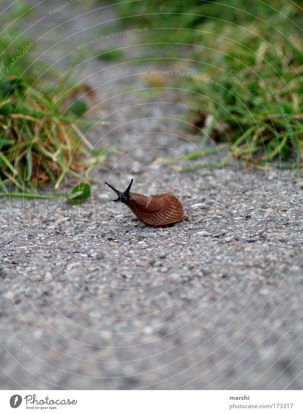 damals auf der Rennstrecke... Farbfoto Außenaufnahme Umwelt Natur Erde Park Wiese Verkehr Tier Schnecke 1 Bewegung Ekel klein schleimig braun grün Wege & Pfade