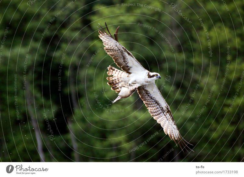 Fischadler mit Fisch Natur Wasser Tier See fliegen Vogel Luft Kraft Wildtier Erfolg fangen Jagd Fressen Mecklenburg-Vorpommern Vogelflug