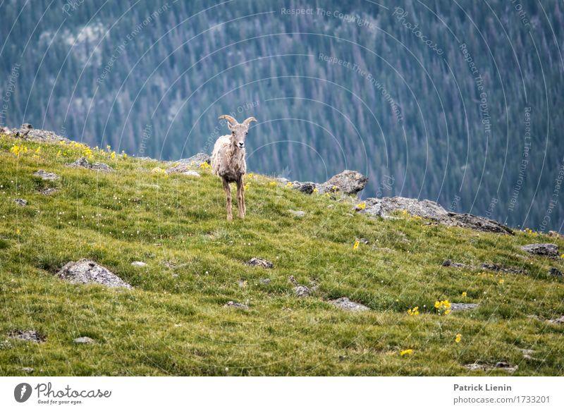 Bergziege Natur Ferien & Urlaub & Reisen Sommer schön grün Baum Landschaft Tier Wald Berge u. Gebirge Umwelt Wege & Pfade Wiese natürlich Tourismus wild