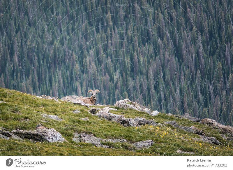 Bighorn Sheep Natur Ferien & Urlaub & Reisen Sommer schön grün Baum Landschaft Tier Wald Berge u. Gebirge Umwelt Wege & Pfade Wiese natürlich Tourismus wild
