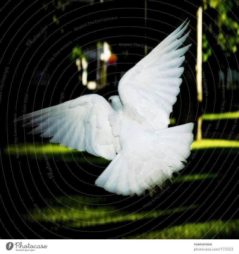 Farbfoto Außenaufnahme Kontrast Tier Wildtier Vogel Taube 1 Zufriedenheit Bewegung elegant Gelassenheit Leben rein