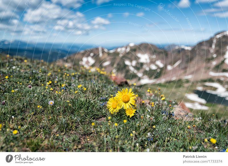 Alpine Sunflower schön Ferien & Urlaub & Reisen Tourismus Abenteuer Sommer Schnee Berge u. Gebirge wandern Umwelt Natur Landschaft Pflanze Himmel Wolken Wetter