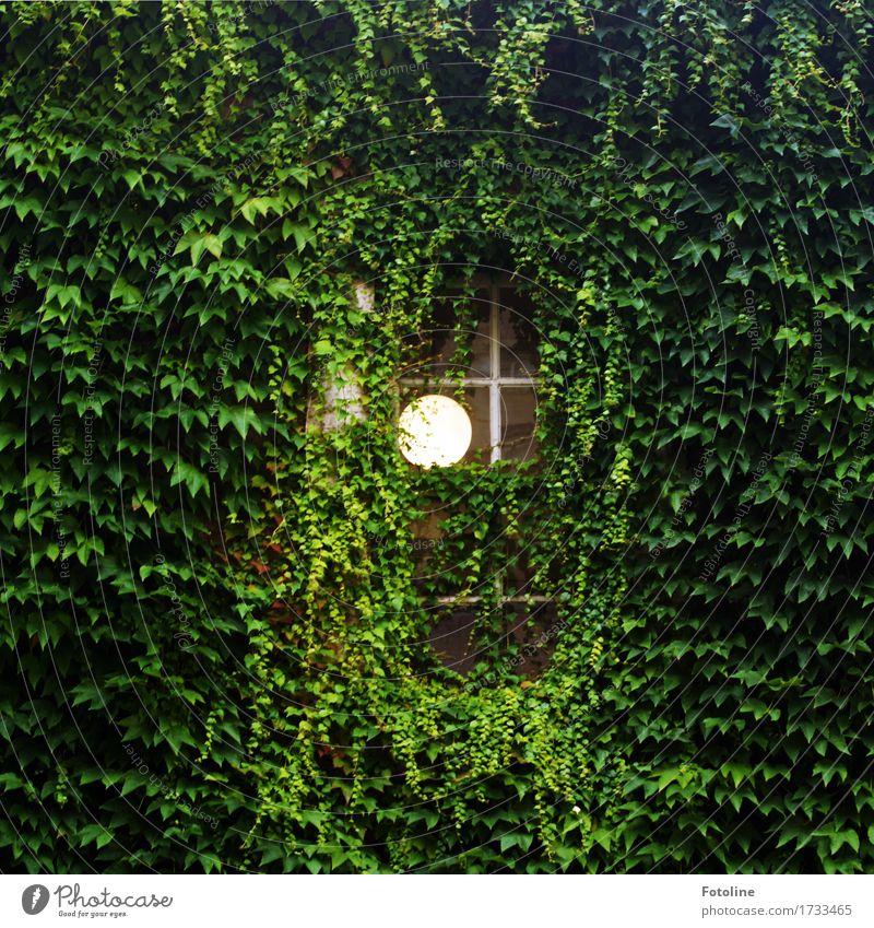 Lichtblick Umwelt Natur Pflanze Sommer Blatt Grünpflanze Menschenleer Haus Fenster hell grün Lampe Wilder Wein Kletterpflanzen Farbfoto mehrfarbig Außenaufnahme