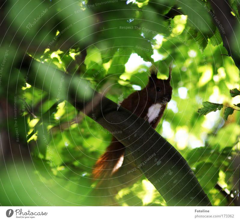 Eichhörnchen I Natur Baum Pflanze Blatt Tier Wald Umwelt klein Wildtier Geschwindigkeit Schönes Wetter frech klug