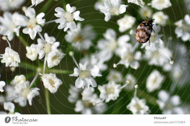 Schwarmlos Farbfoto Außenaufnahme Tag Schwache Tiefenschärfe Natur Pflanze Blume Blüte Grünpflanze Wildpflanze Tier Wildtier Käfer 1 berühren Blühend krabbeln