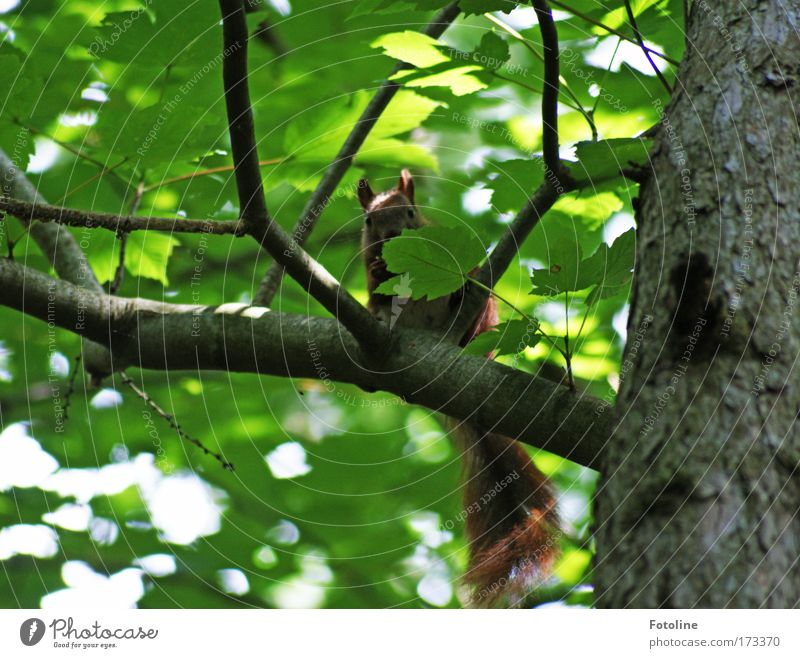 Eichhörnchen II Natur grün Baum Pflanze Sonne Blatt Tier Wald Umwelt Wärme hell braun Wildtier frei Geschwindigkeit Neugier