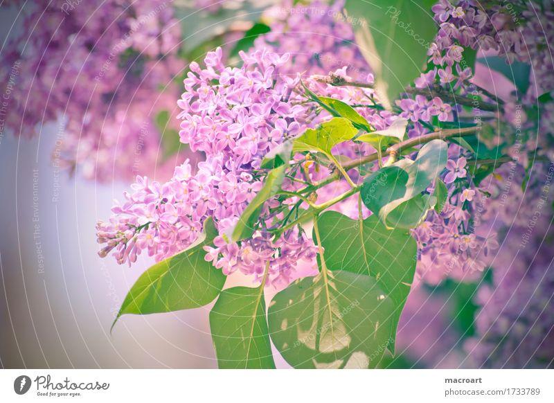 Flieder Fliederbusch violett Blühend Blume Blüte Pflanze Natur natürlich Nahaufnahme Wellness Sommer Frühling Detailaufnahme