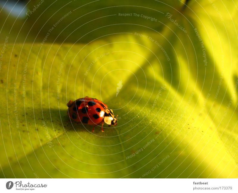 ladybird grün schön rot Pflanze Sonne Sommer Blume Blatt Tier Wiese Gefühle Gras Frühling klein lustig fliegen
