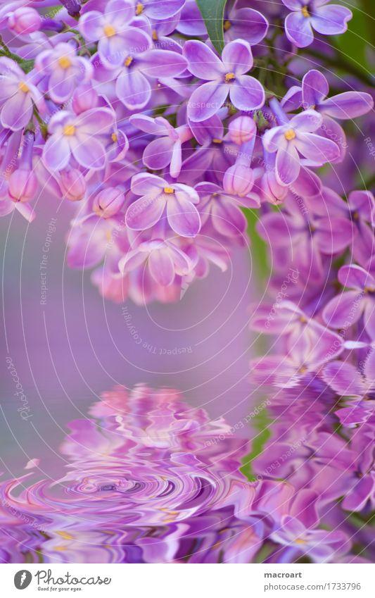 Flieder Fliederbusch violett Blühend Blume Blüte Pflanze Natur natürlich Nahaufnahme Wasser Wellen Wellness Sommer Frühling Detailaufnahme