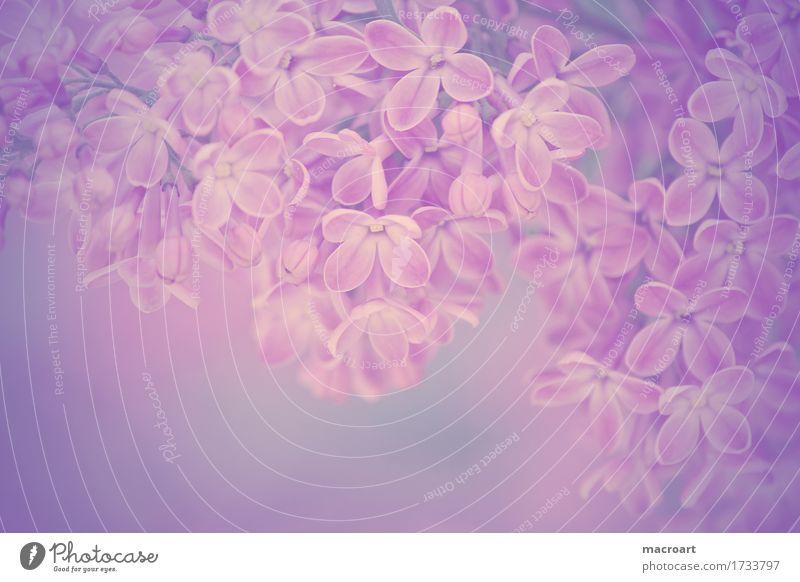 Flieder Natur Pflanze Sommer Blume Blüte Frühling natürlich Blühend Wellness violett Fliederbusch