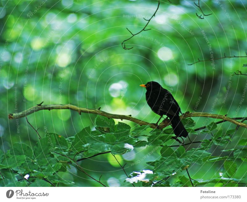 Amselchen Natur Baum Sonne grün Pflanze Sommer Blatt schwarz Tier Wald Frühling hell Vogel Umwelt frei wild