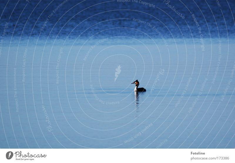 Haubentaucher Natur blau Wasser Sommer Tier Umwelt Küste See hell Vogel elegant Wildtier nass natürlich Schönes Wetter Seeufer