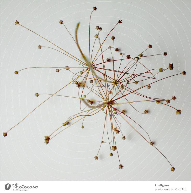Sternenzauber weiß Pflanze braun Blume Stern (Symbol) Vergänglichkeit Nahaufnahme bizarr vertrocknet Trockenblume