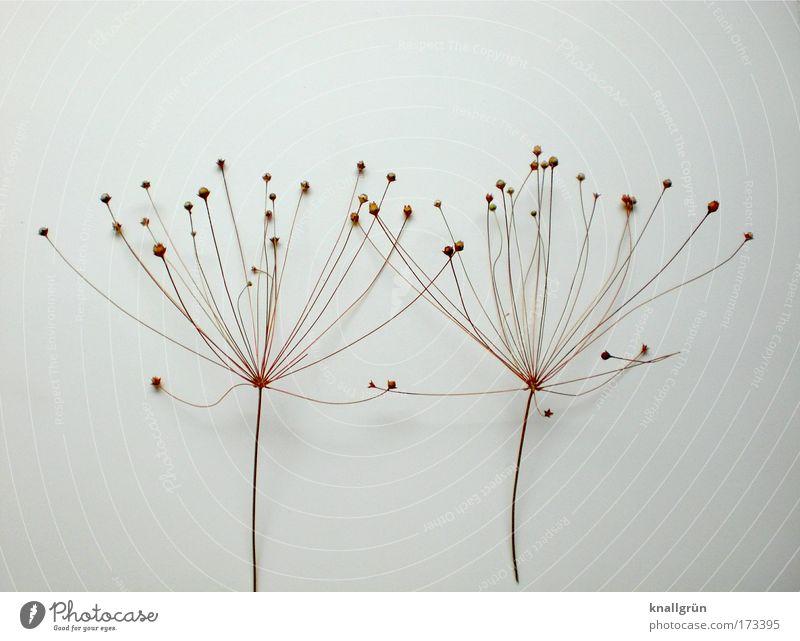 Gleich und doch anders Natur weiß Pflanze braun 2 Vergänglichkeit bizarr Zusammenhalt vertrocknet Schriftzeichen
