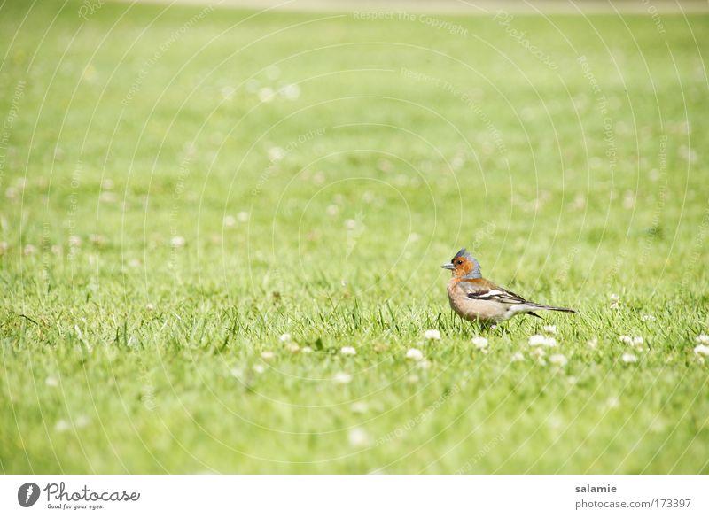 Vogel Farbfoto Außenaufnahme Menschenleer Tag Unschärfe Tierporträt Natur Gras Wiese Wildtier 1 natürlich ruhig Einsamkeit Freiheit Umwelt