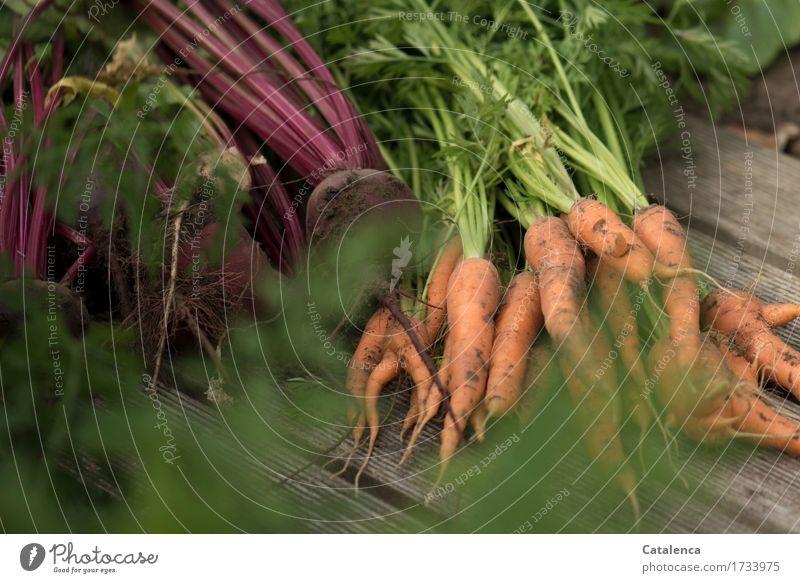 Im Gemüsegarten Natur Pflanze Sommer grün rot Essen Gesundheit Holz braun orange Freizeit & Hobby Wachstum frisch Gemüse Ernte nachhaltig