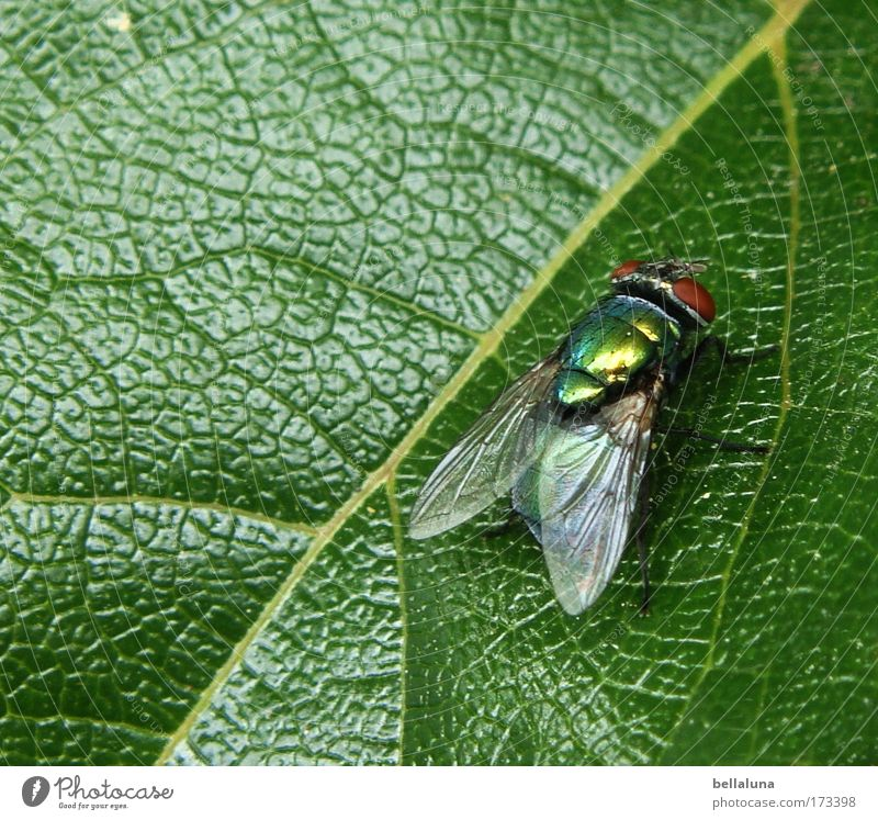 Ich SCHMEIß mich weg! :mrgreen: Natur Pflanze Blatt Fliege Flügel Insekt Mut Lebensfreude selbstbewußt Efeu Grünpflanze Blattadern schimmern Tapferkeit