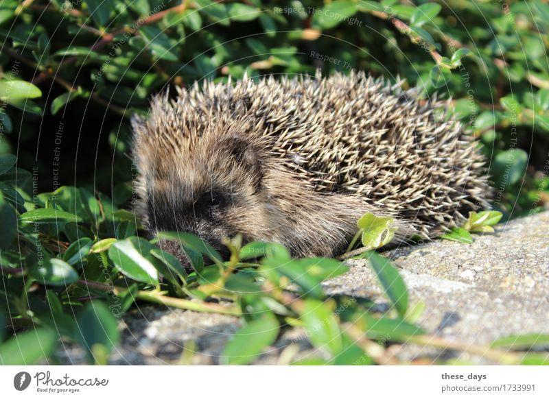 Igel Frühling Sträucher Tier Wildtier stachelig wild braun Farbfoto Außenaufnahme Nahaufnahme Menschenleer Tag Tierporträt