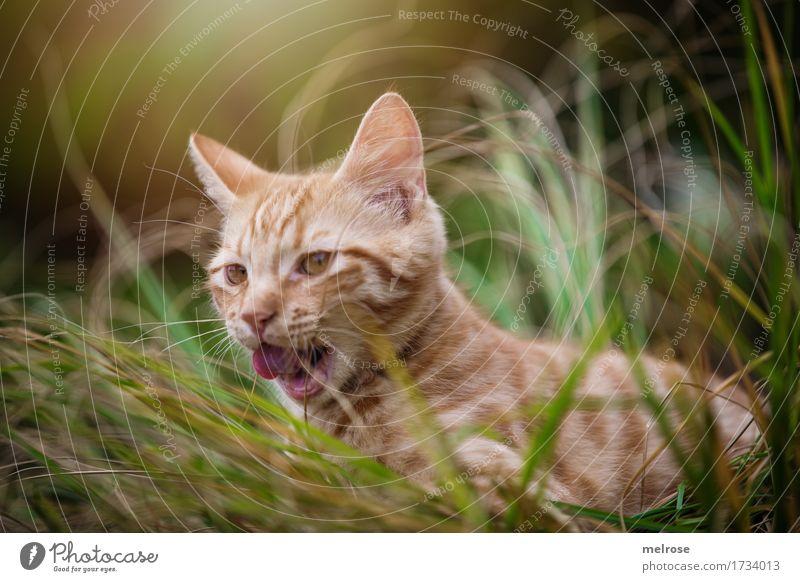 auf der Jagd ... Tier Haustier Katze Tiergesicht Fell Katzenzunge Katzenohr Schnauze 1 Tierjunges lutschen Zunge Lichterscheinung Lichteinfall hohes Gras