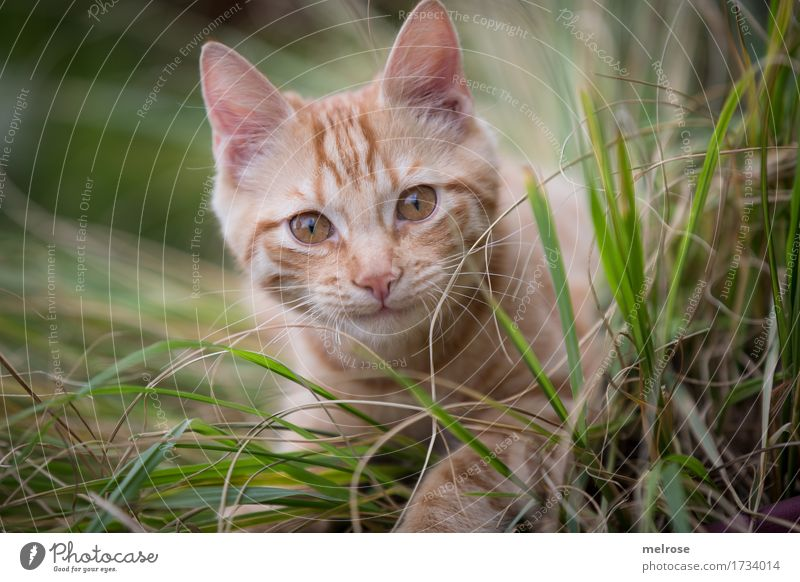 Morschaaaaaaaaa elegant Natur Sommer Gras hohe Gräser Garten Tier Haustier Katze Tiergesicht Fell Pfote Katzenohr Schnauze 1 Tierjunges inmitten wacher Blick