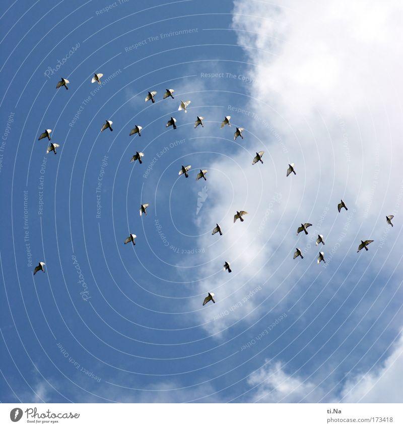 40 (32) Tauben Himmel Natur Sommer Ferien & Urlaub & Reisen Tier Bewegung fliegen Vogel Schönes Wetter Schwarm Friedenstaube Brieftaube