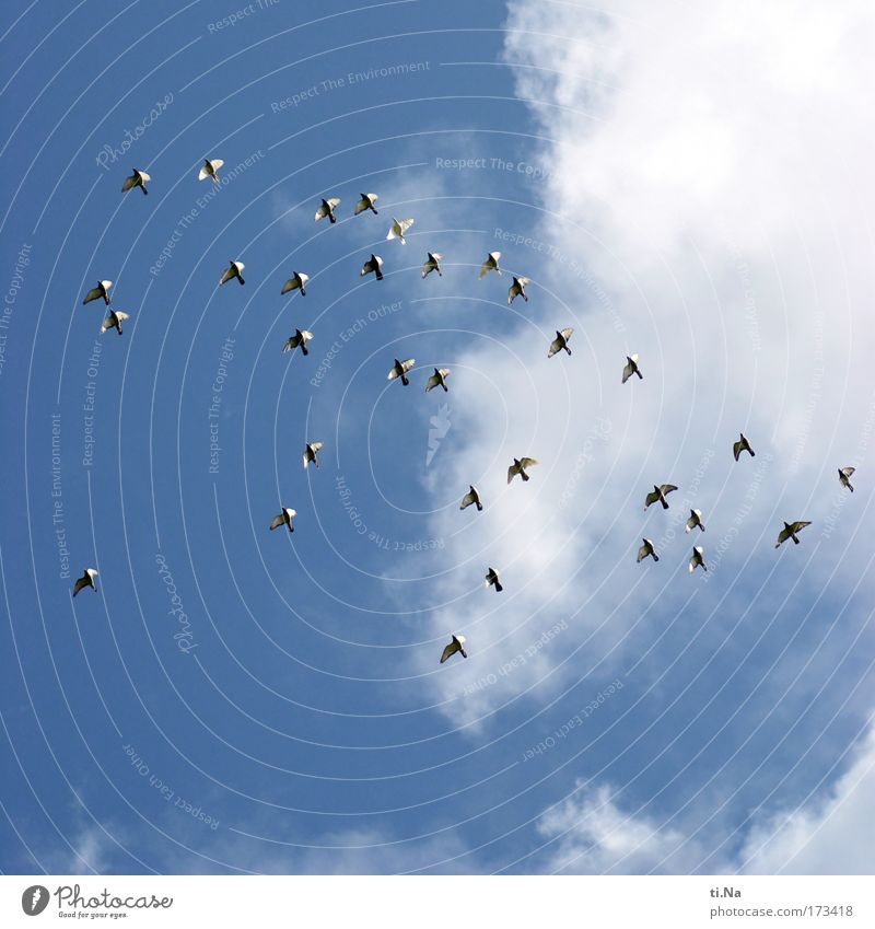 40 (32) Tauben Himmel Natur Sommer Ferien & Urlaub & Reisen Tier Bewegung fliegen Vogel Taube Schönes Wetter Schwarm Friedenstaube Brieftaube